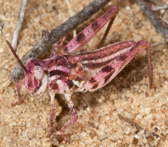 White-lined Grasshopper - Conozoa rebellis