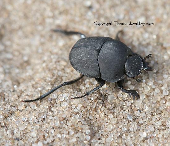Beetle - Melanocanthon nigricornis