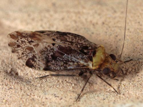Bark Louse - Trichadenotecnum alexanderae
