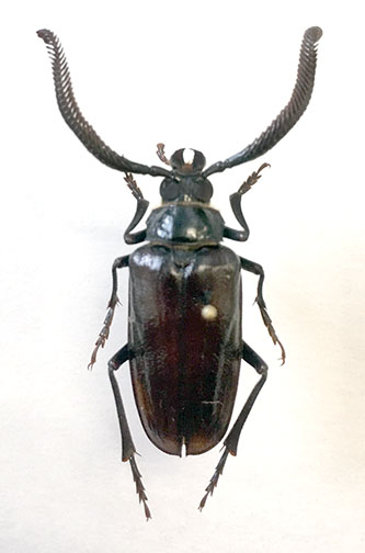 Prionus fissicornis - male