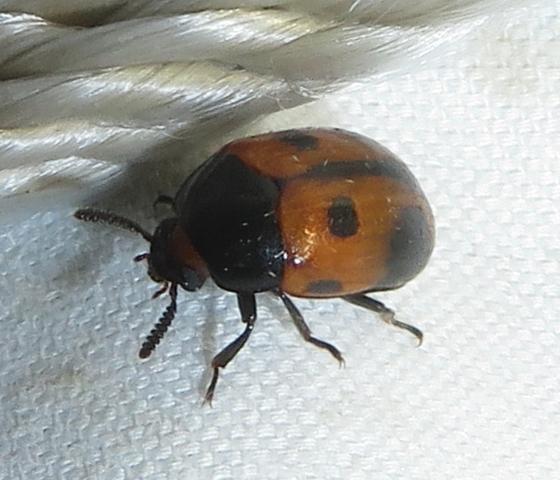 Beetle - Diaperis maculata