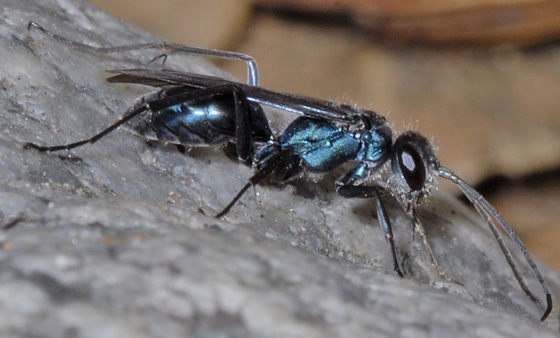 blue black wasp - Auplopus - female