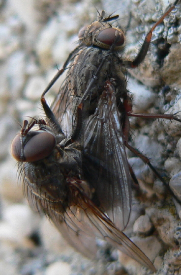 mating flies - male - female