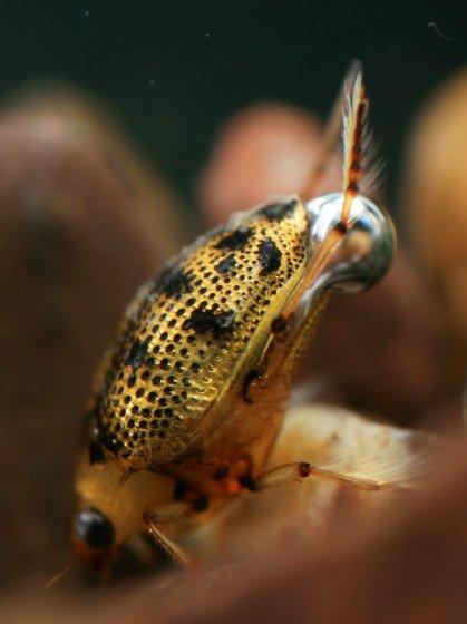 Crawling Water Beetle - Peltodytes sexmaculatus