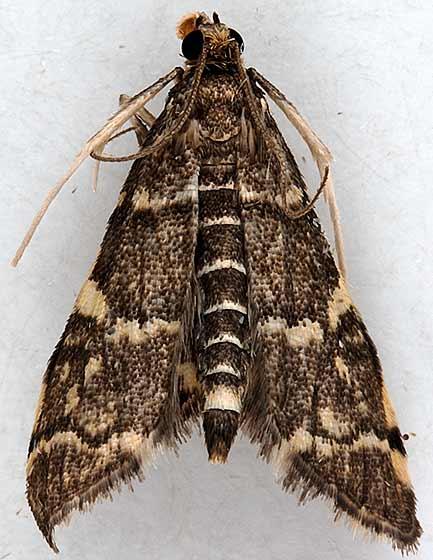 moth - Anageshna primordialis - male