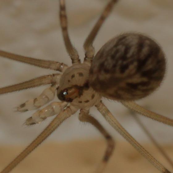 Cellar spider - Psilochorus pullulus