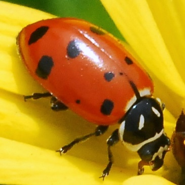 Convergent Ladybird Beetle for California in April - Hippodamia convergens