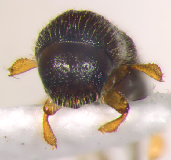 Scolytinae - head & tibia - Xyleborinus saxesenii