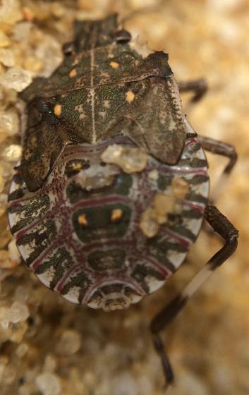 Stink bug paralyzed by a sand wasp (Bicyrtes quadrifasciatus) - Halyomorpha halys