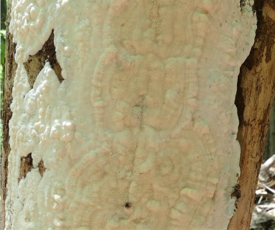 Pleasing Fungus Beetle (Dacne picta) (?)   - Dacne picta