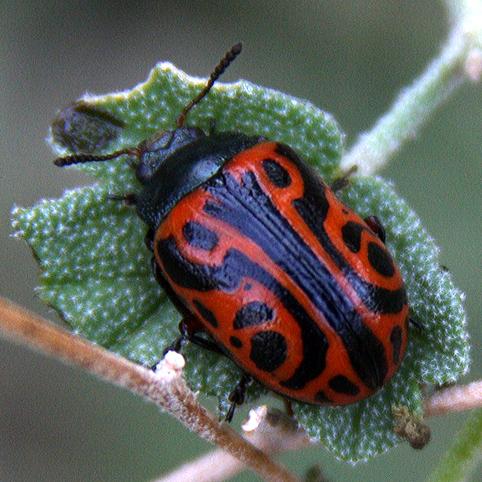 Coleoptera-Chrysomelidae-Calligrapha serpentina - Calligrapha serpentina