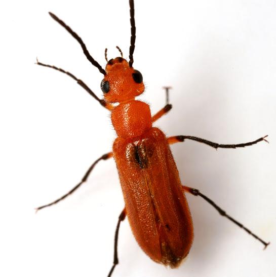 Nemognatha nigripennis LeConte - Nemognatha nigripennis