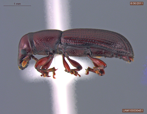 Rhyncolus brunneus
