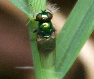 Which little shiny green fly, please? - Microchrysa polita - female