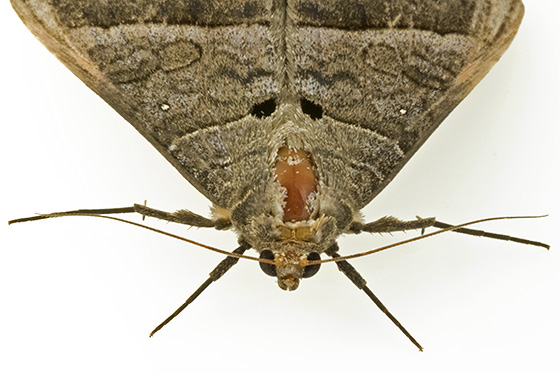 another moth - Mocis latipes