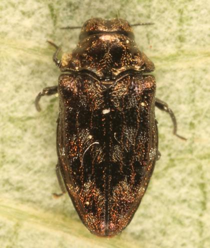Buprestid - Brachys aeruginosus - female