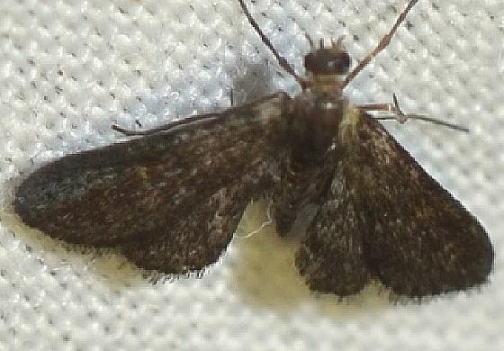 Elophila tinealis