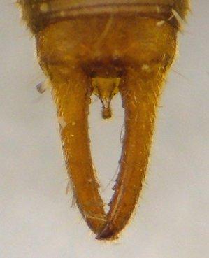 Little Earwig Labia Minor