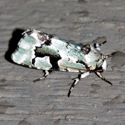 Beloved Emarginea Moth - Hodges #9718 - Emarginea percara