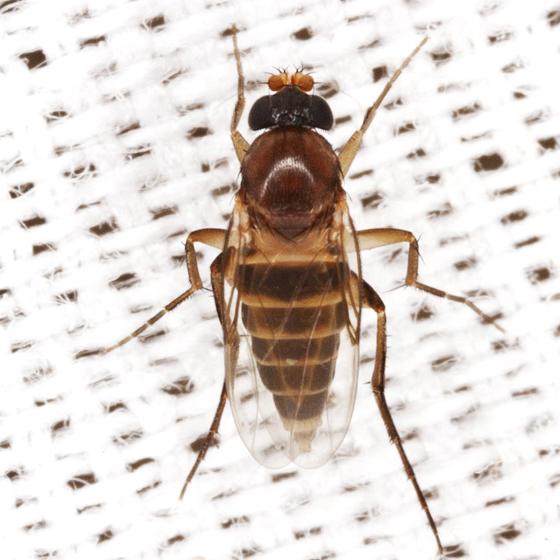 Ant-decapitating Fly - Apocephalus
