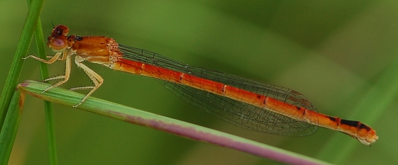 Eastern Red Damsel - Amphiagrion saucium - female