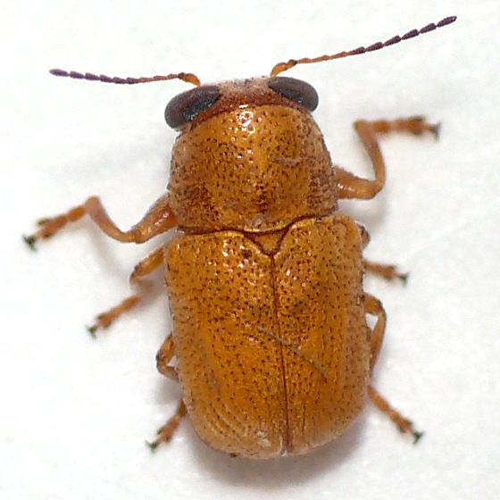 Leaf beetle (2) 10.07.01 - Pachybrachis coloradensis