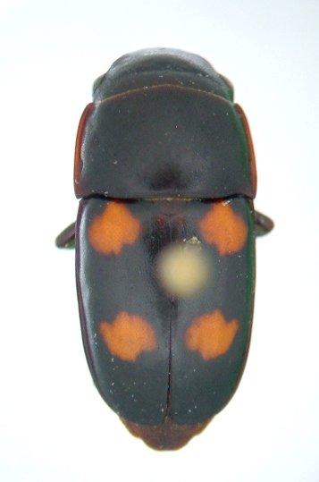 Glischrochilus obtusus