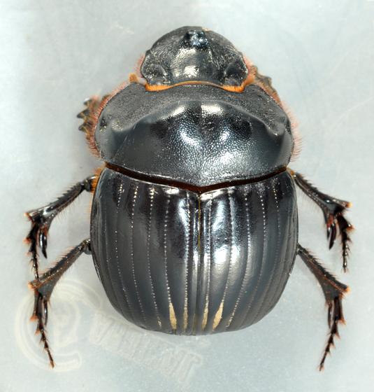 Dichotomius carolinus - female