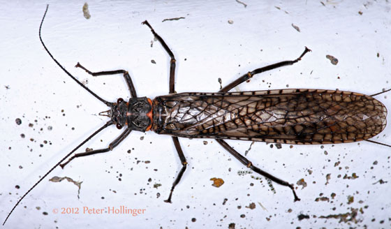 Stonefly? - Pteronarcys - female