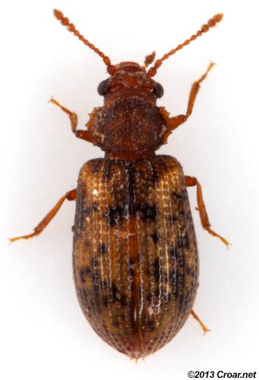 Derodontus esotericus - male