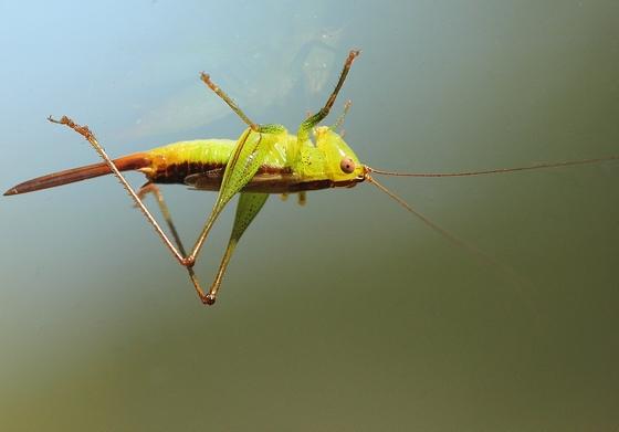 MN Oct - Conocephalus brevipennis? - Conocephalus brevipennis - female