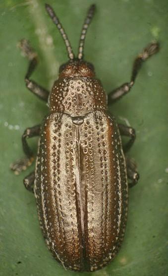 Chrysomelid ex Helianthus occidentalis - Microrhopala vittata