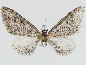 Eupithecia prostrata - Hodges #7506 - Eupithecia prostrata - male