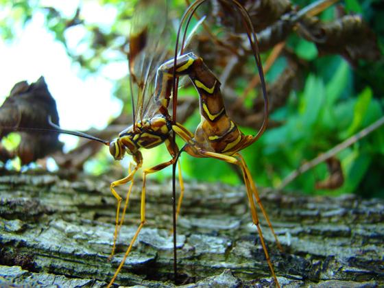 Unknown1 - Megarhyssa macrurus