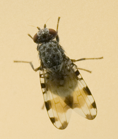 small fly-neat wings-red eyes - Pseudotephritis vau - male