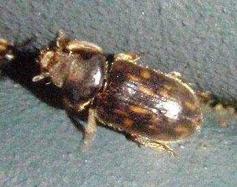 orange-spotted beetle - Heterocerus