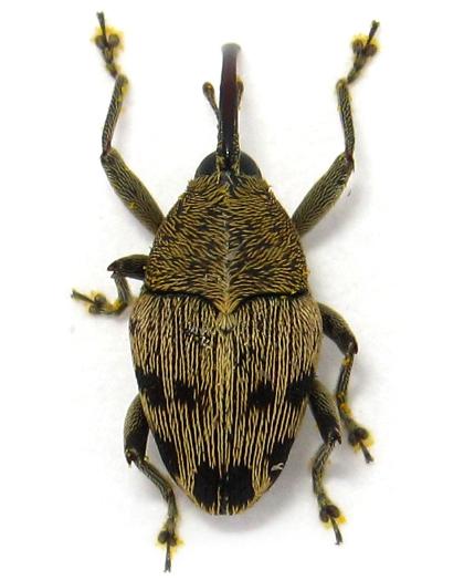 Geraeus penicillus - female