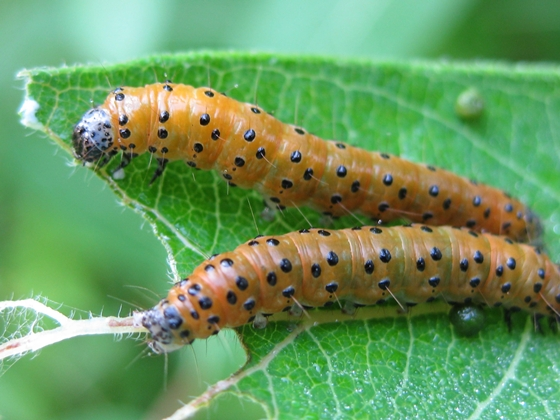 Dogbane Saucrobotys Moth Caterpillars - Saucrobotys futilalis