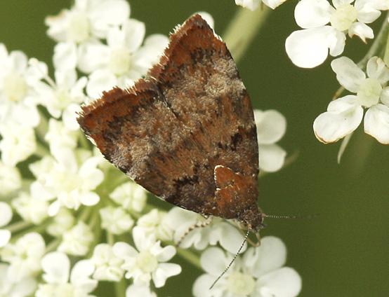 Tiny Moth - Choreutis pariana