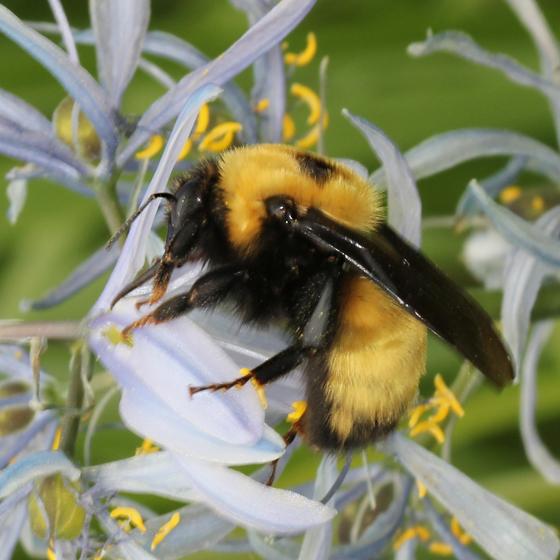 Nevada Bumble Bee? - Bombus nevadensis