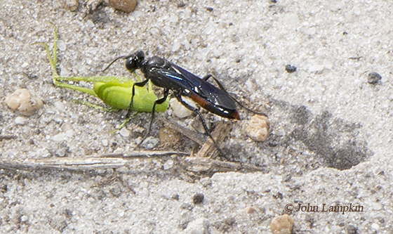 Sphecid Wasp with prey - female