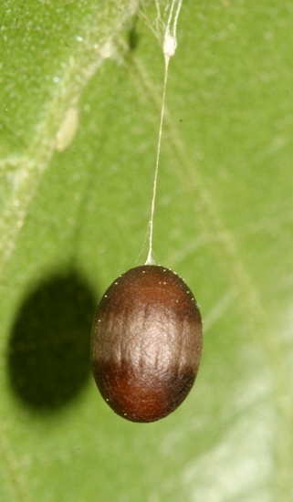 Hanging insect egg