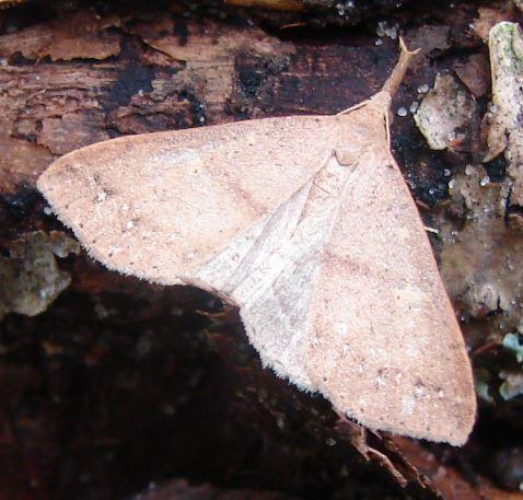 Moth - (Renia sp.) (?) - Renia salusalis - female