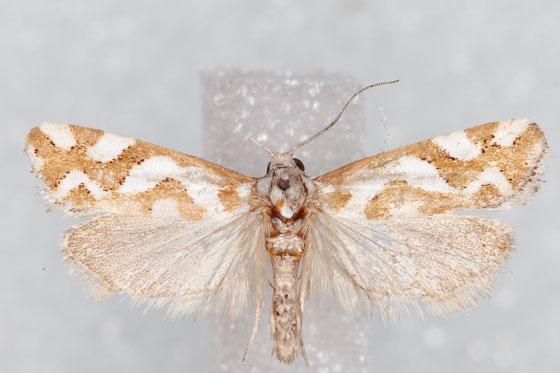 Micro Moth 16 - Pelochrista
