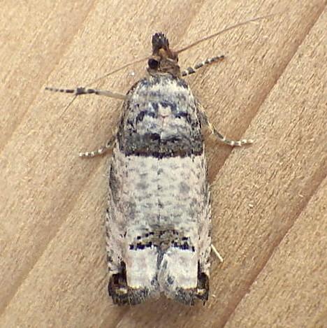 Tortricidae: Spilonota ocellana - Notocelia culminana