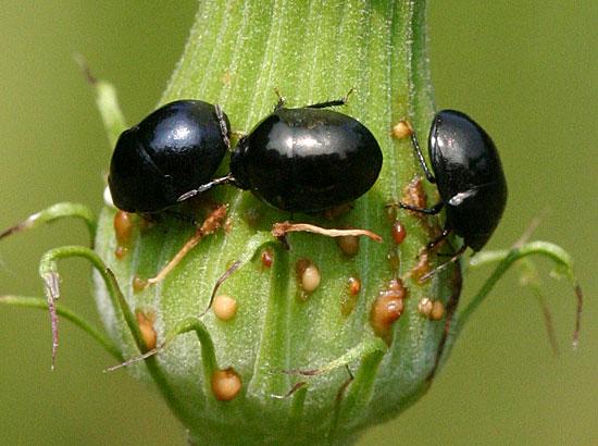 Negro Bugs