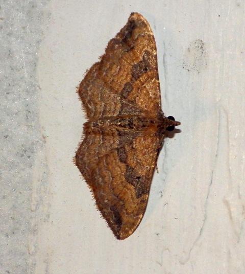 Moth 05-13 3999 - Orthonama obstipata - male