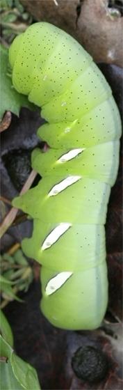 Vine Sphinx Caterpillar - Eumorpha vitis