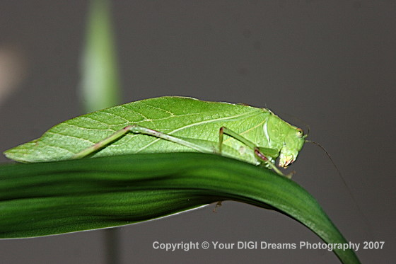 Green Leaf-Like Bug - Microcentrum retinerve - male