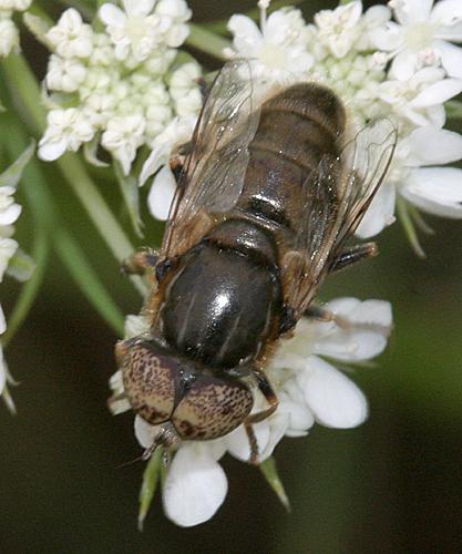 Syrphid - Eristalinus aeneus - male